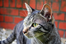 foto of tabby-cat  - stray tabby cat in front of brick wall - JPG