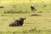 image of wildebeest  - African Antelope Wildebeest in natural habitat - JPG