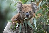 foto of herbivore animal  - An Australian Koala in its natural habitat - JPG