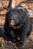 pic of omnivore  - Asiatic black bear sittng on the tree in zoo - JPG