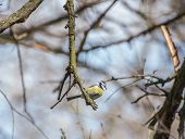 picture of tit  - Blue tit on springtime/Blue tit on ribes sanguineum