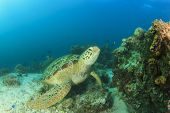 Green Sea Turtle (Chelonia mydas)