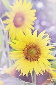 sunflower,  tinted