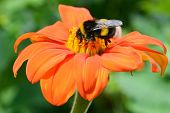 Bumble bee pollinating a flower