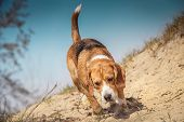 stock photo of bloodhound  - Beagle dog walking on the wild nature - JPG