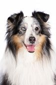 image of sheltie  - merle sheltie dog posing on white background - JPG