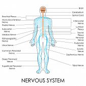 stock photo of lumbar spine  - vector illustration of diagram of nervous system - JPG