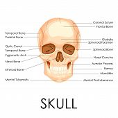 picture of mandible  - vector illustration of diagram of human skull - JPG