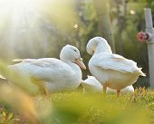 White ducks on the  grass field