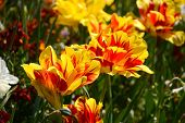 Bold Red And Yellow Monsella Tulips