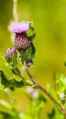 foto of scottish thistle  - Thistle - Scottish national flower - St Andrew