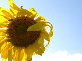 stock photo of libido  - bee collecting pollen from sunflower - JPG