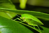Green Stink Bug Or Shield Bug (nezara Viridula).