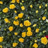 Bush small yellow roses