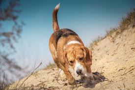 image of bloodhound  - Beagle dog walking on the wild nature - JPG