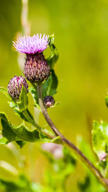 picture of scottish thistle  - Thistle - Scottish national flower - St Andrew