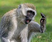 pic of omnivores  - Vervet monkey  - JPG
