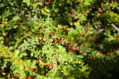 stock photo of barberry  - Branch of the ripe berries of red barberry - JPG