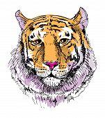 picture of wildcat  - Artwork tiger - JPG