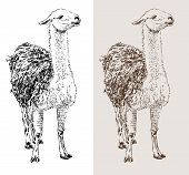 stock photo of lamas  - artwork lama - JPG
