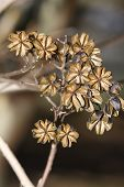 foto of crepe myrtle  - Dried crepe myrtle flowers after the fall season - JPG