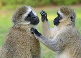 pic of omnivore  - Vervet monkey  - JPG