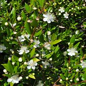 picture of angiosperms  - Myrtus myrtle  - JPG