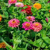 stock photo of zinnias  - A bright background of beautiful flowers zinnias - JPG