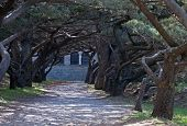 foto of filerimos  - Hooded trees at the Calvary avenue Cloister at Ialyssos monastery on the Greek island of Rhodes is built at the top of Mount Filerimos