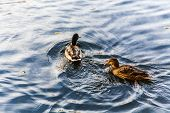 pic of duck pond  - two ducks swimming on a pond near a beautiful fall sunset