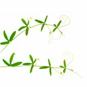 pic of tendril  - two green branches of passionflower with tendrils is isolated on white background closeup - JPG