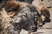 picture of mongrel dog  - Street mongrel dog lying on sunny winter day - JPG