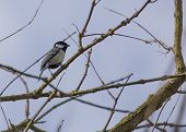 image of great tit  - Great Tit spotted outdoors in National Botanic Gardens Dublin