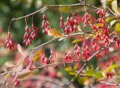 stock photo of barberry  - Barberry bush branch in the forest closeup - JPG