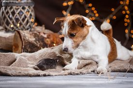 pic of rats  - studio portrait of a brown domestic rat and dogs - JPG