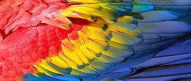 stock photo of jungle animal  - Parrot feathers red yellow and blue exotic texture - JPG