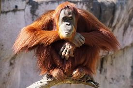 stock photo of species  - Adult Orangutan an endangered species sitting atop a branch - JPG