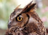 stock photo of indian  - The Indian eagle-owl also called the rock eagle-owl or Bengal eagle owl (Bubo bengalensis) - a species of large horned owl found in the Indian Subcontinent.