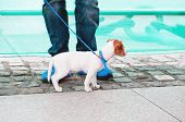 pic of jacking  - Nice Jack Russell terrier puppy on the street - JPG