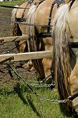 pic of harness  - A team of four horses are harnessed and ready to pull a machine with double hitching poles - JPG