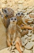 stock photo of testicles  - A group of meerkats in their natural environment looking at the camera - JPG