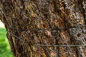 pic of bundle  - a bundle tree with barbed wire nailed to the bark - JPG