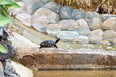 image of tortoise  - Turtle or tortoise on stone in decorative pond - JPG