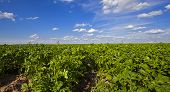 picture of potato-field  - an agricultural field on which grow up potatoes - JPG