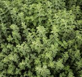 picture of oregano  - the plant of growing oregano green background  - JPG