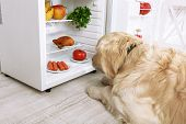 stock photo of labradors  - Cute Labrador near fridge in kitchen - JPG