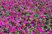 stock photo of petunia  - The petunias. Pink flowers. Purple flowers. Flowerbed