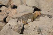 stock photo of slender  - Slender mongoose forage and look for food among rocks - JPG