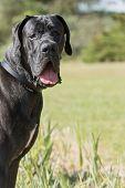 pic of great dane  - Portrait of a black Great Dane outdoors - JPG