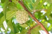 foto of custard  - custard apple fruit on tree in the garden - JPG